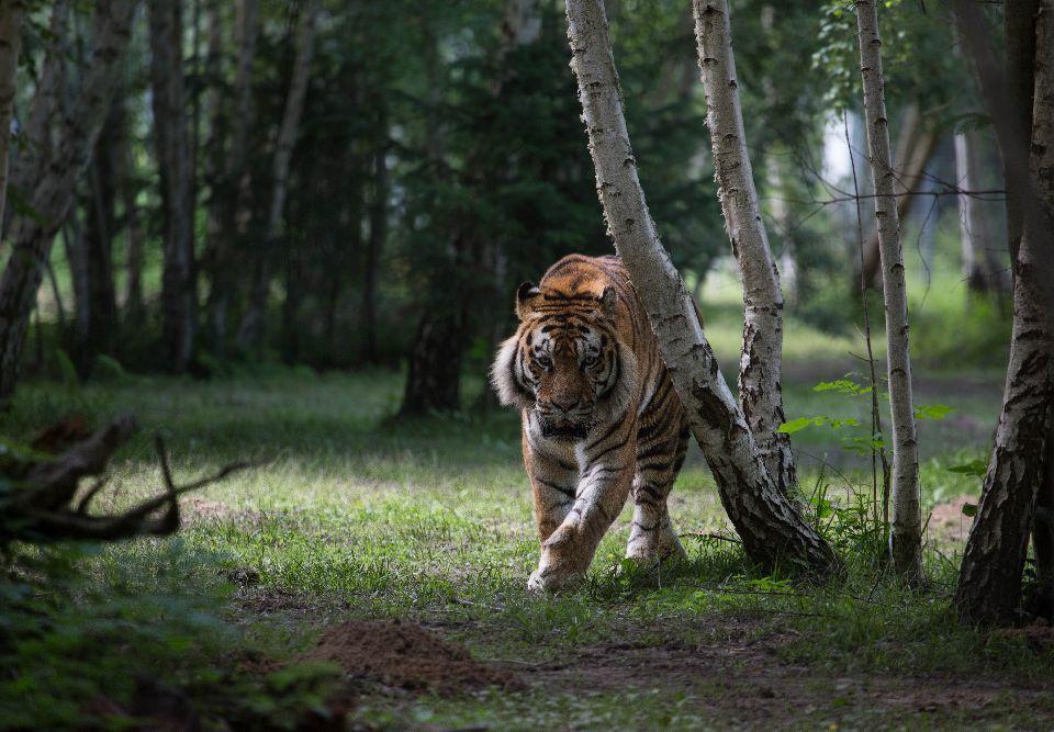 Les tigres de Sibérie règnent à nouveau sur les forêts d'Orient
