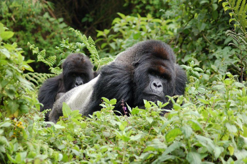 Les gorilles des montagnes à la merci de la déforestation