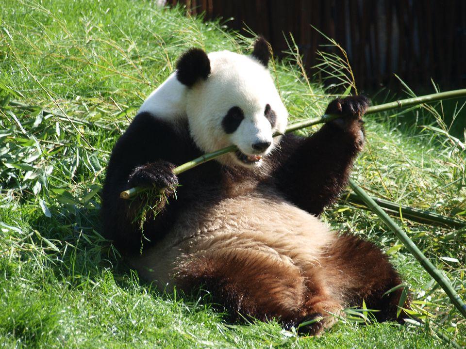 La Chine soigne ses pandas géants