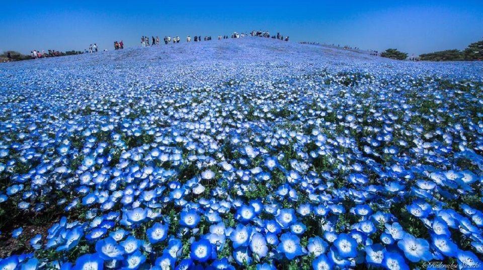 Hainblumenfelder in Japans Hitachi Seaside Park
