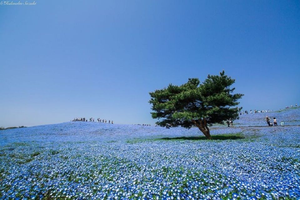 Hainblumenfelder in Japans Hitachi Seaside Park