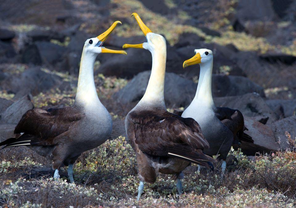 Galapagosalbatros