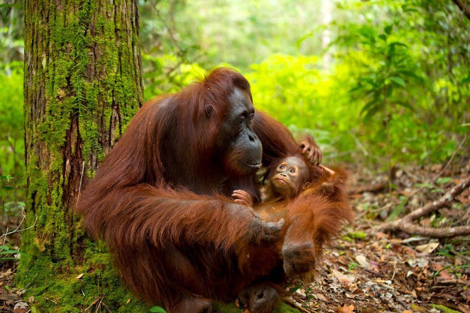 Les orangs-outans de Sumatra