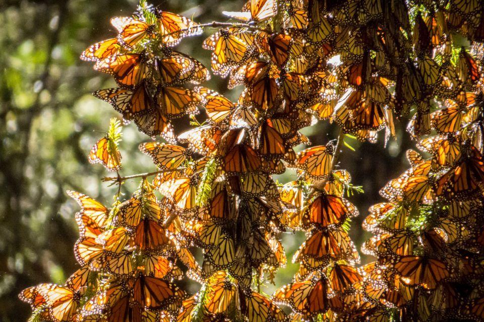 Migración de la mariposa Monarca de México