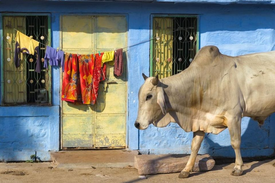 Les vaches, en Inde