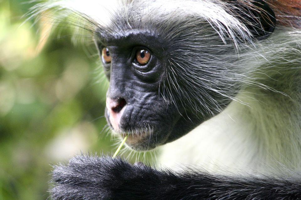 Les singes, au Ghana