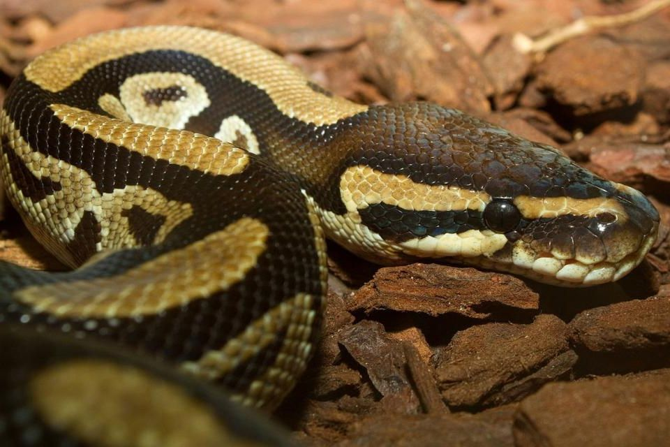Les pythons royaux, au Bénin