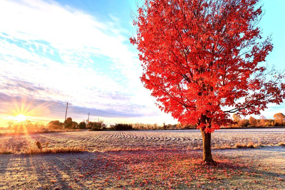 Un « Red maple tree »
