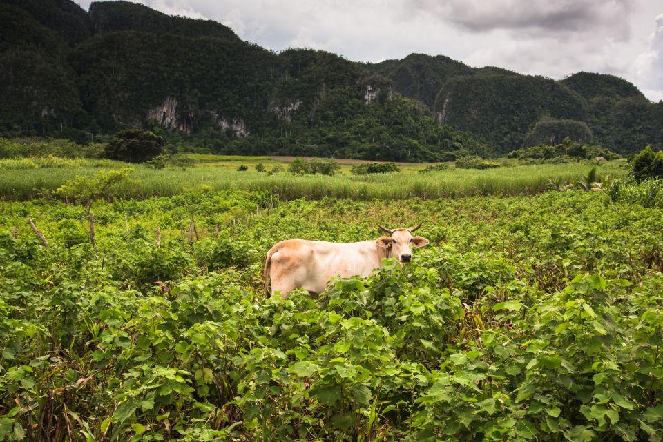 Les Cubains peuvent aller en prison pour avoir tué une vache