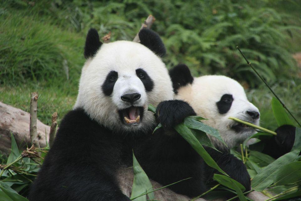 Deux pandas mangent du bambou