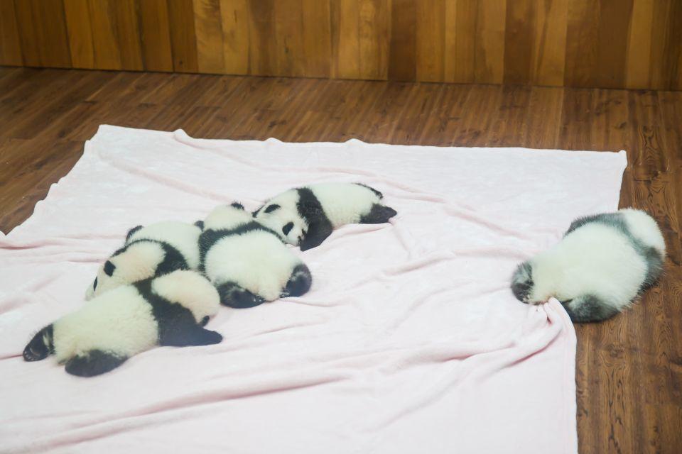 Des bébés pandas se reposent.