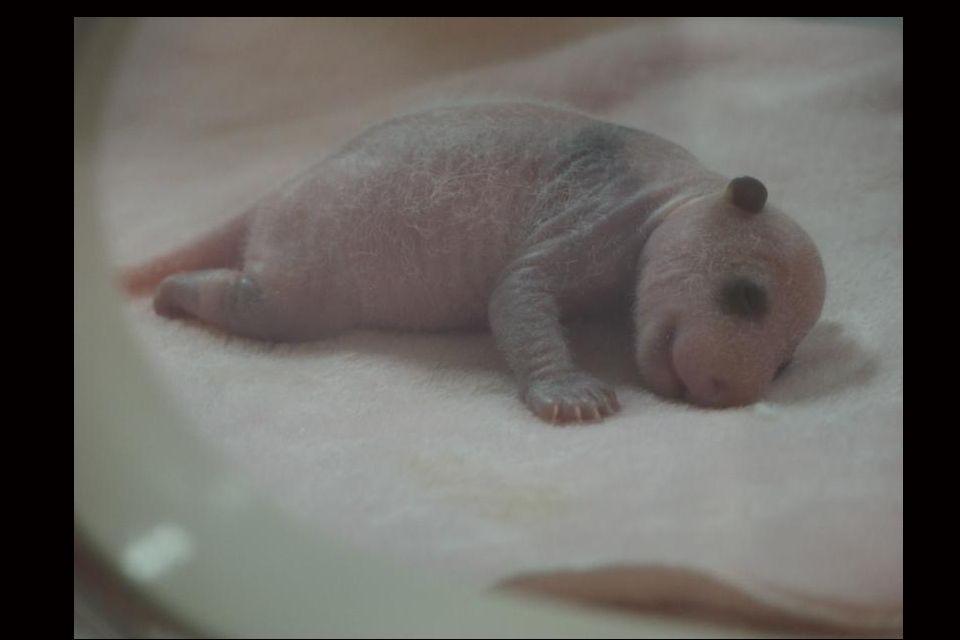 Un bébé panda tout juste né
