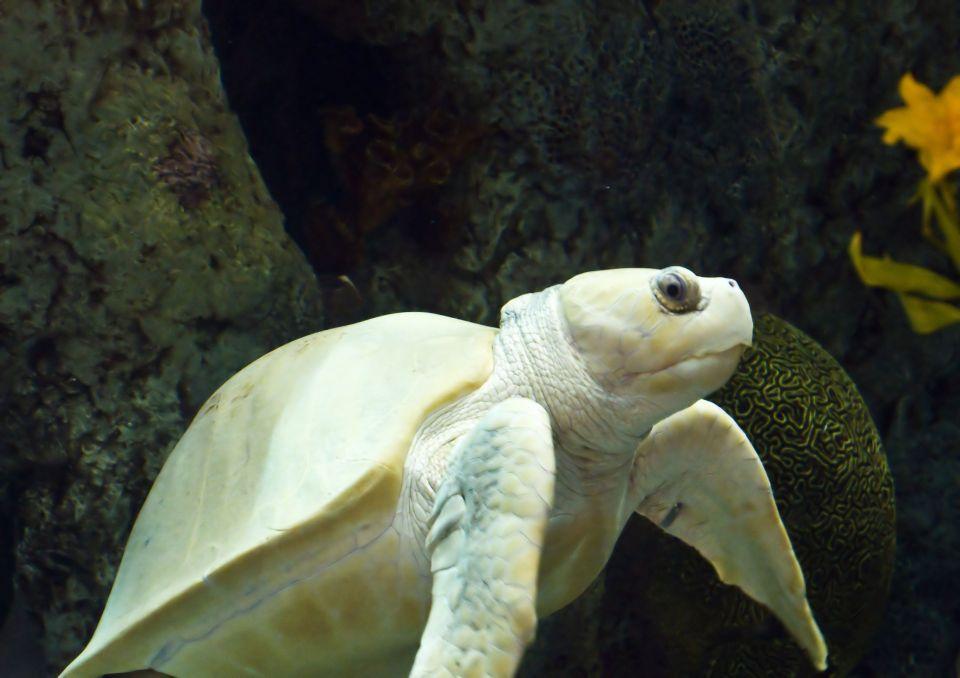La tortue blanche