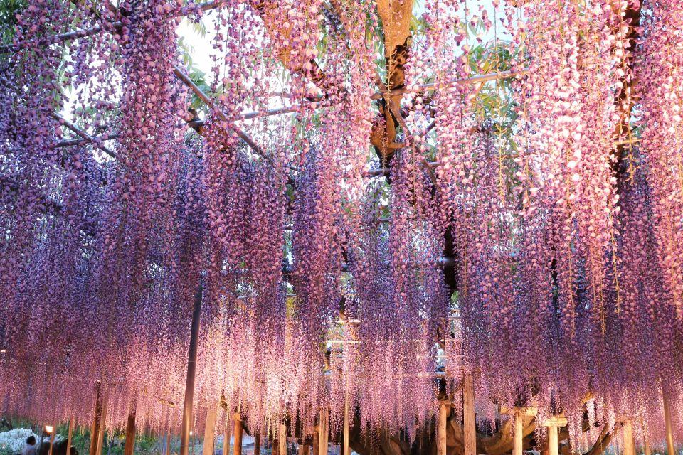 un arbre de glycine consid r comme le plus beau du monde se trouve au japon easyvoyage. Black Bedroom Furniture Sets. Home Design Ideas