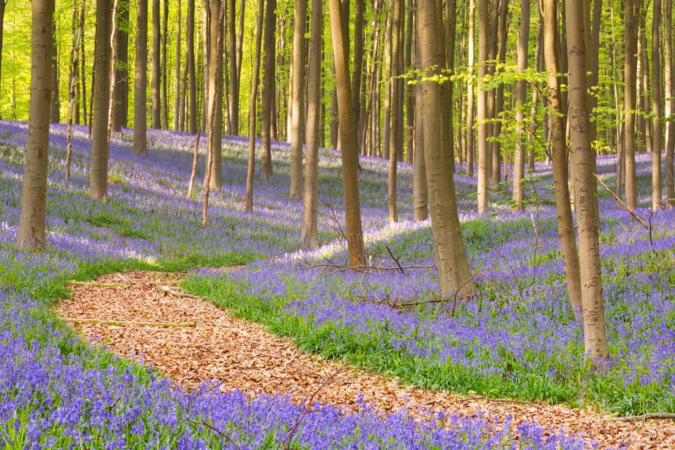 Explore the bluebell trail at Ashridge