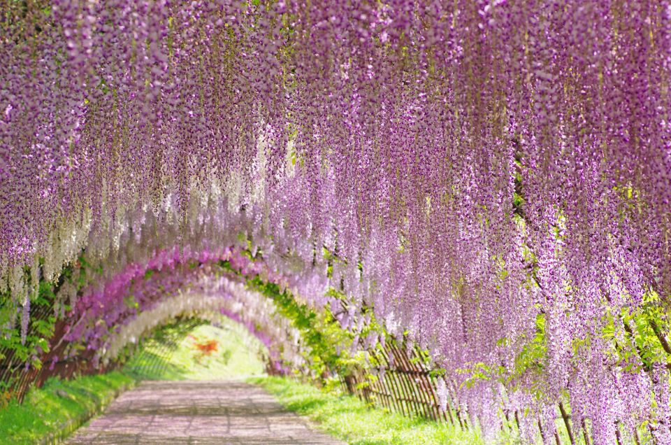 Japan S Enchanting Wisteria Tunnel Is Set To Bloom Easyvoyage