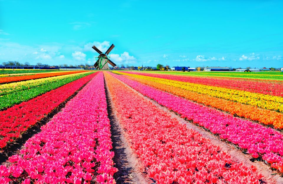 The iconic tulip fields of Holland