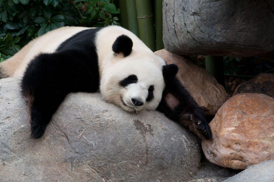 Les Pandas Géants, Chine