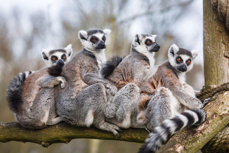 Les lémuriens, Madagascar