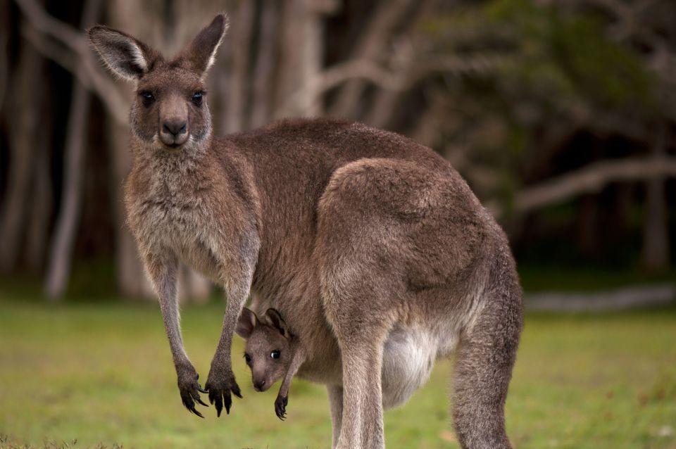 Das Känguru - ab in den Beutel, Australien