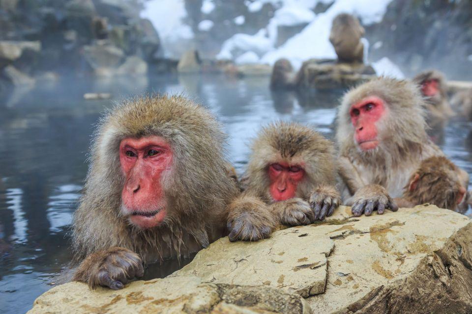 Japon : le parc Jigokudani
