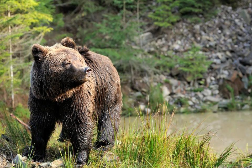 The largest Brown Bear population in Europe