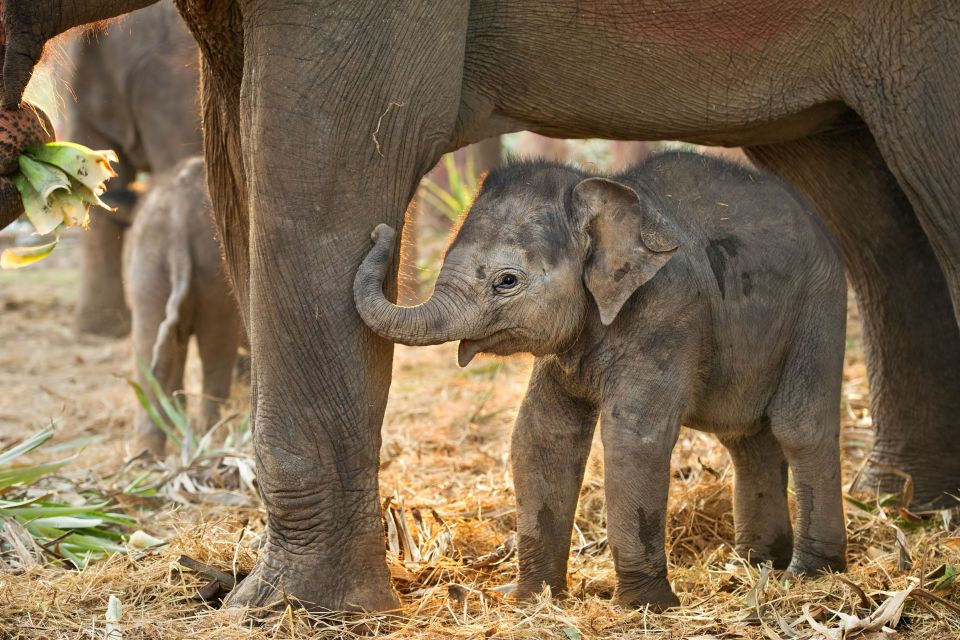 Asian Elephant - Way Kambas National Park, Indonesia