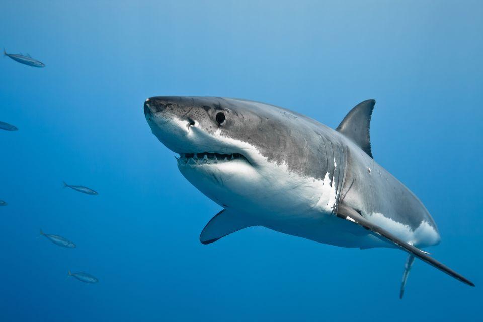 Great White Shark - Gansbaai, South Africa