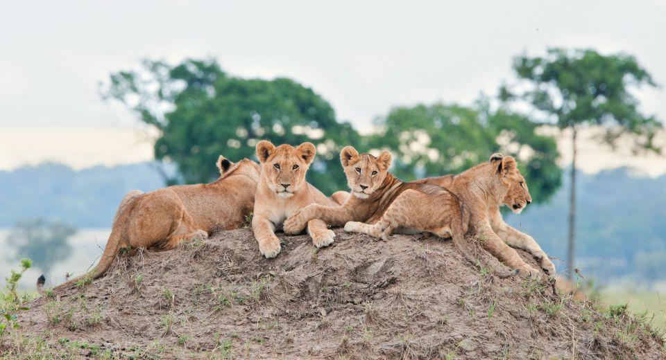 Lions - Masai Mara, Kenya