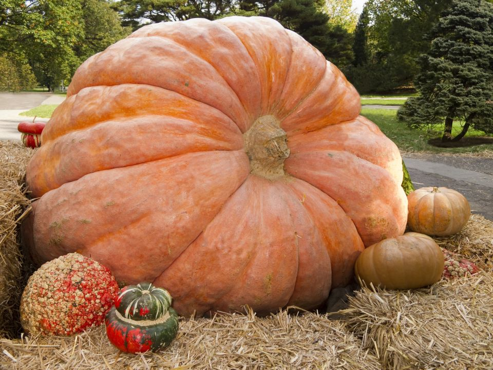 Record-breaking pumpkin