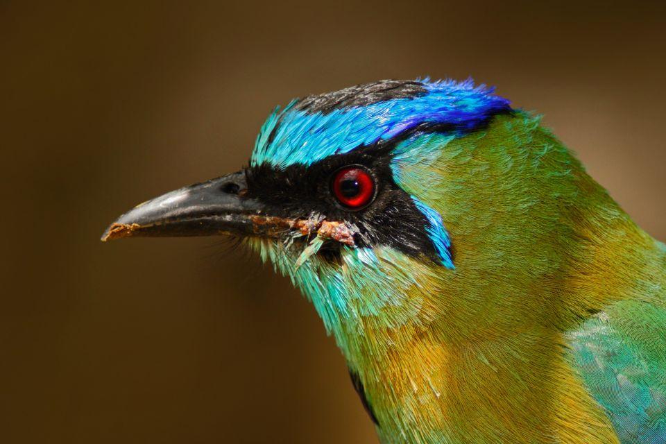 Le Motmot à sourcils bleus