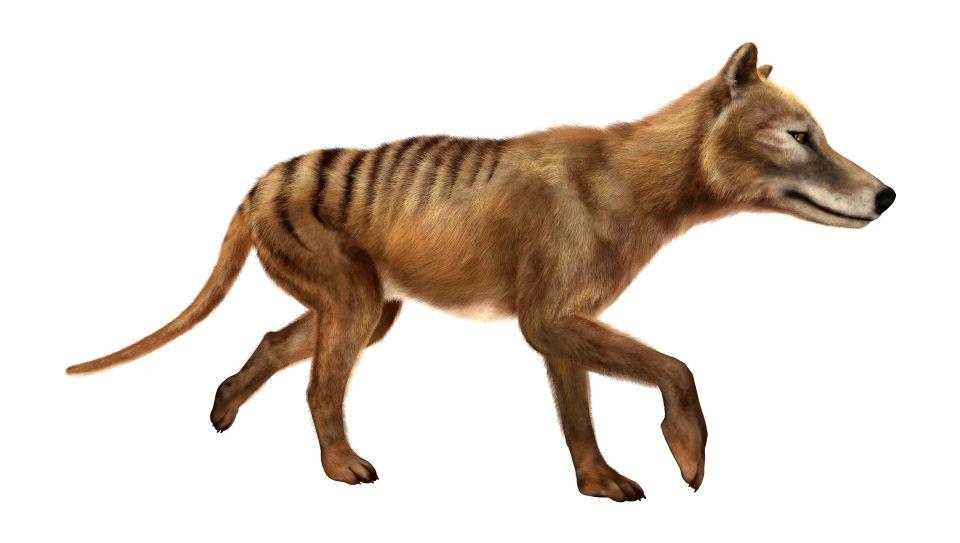 Le Tigre de Tasmanie (Thylacine)