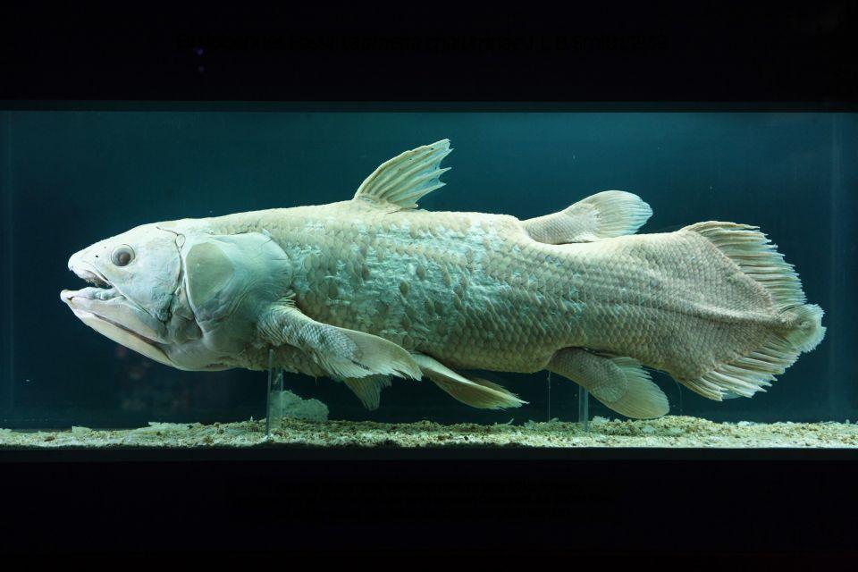 Fossil de coelacanthe