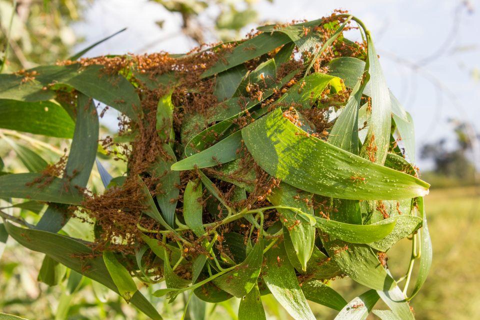 Fourmis Oecophylla