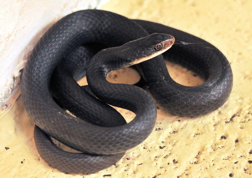Le mamba noir