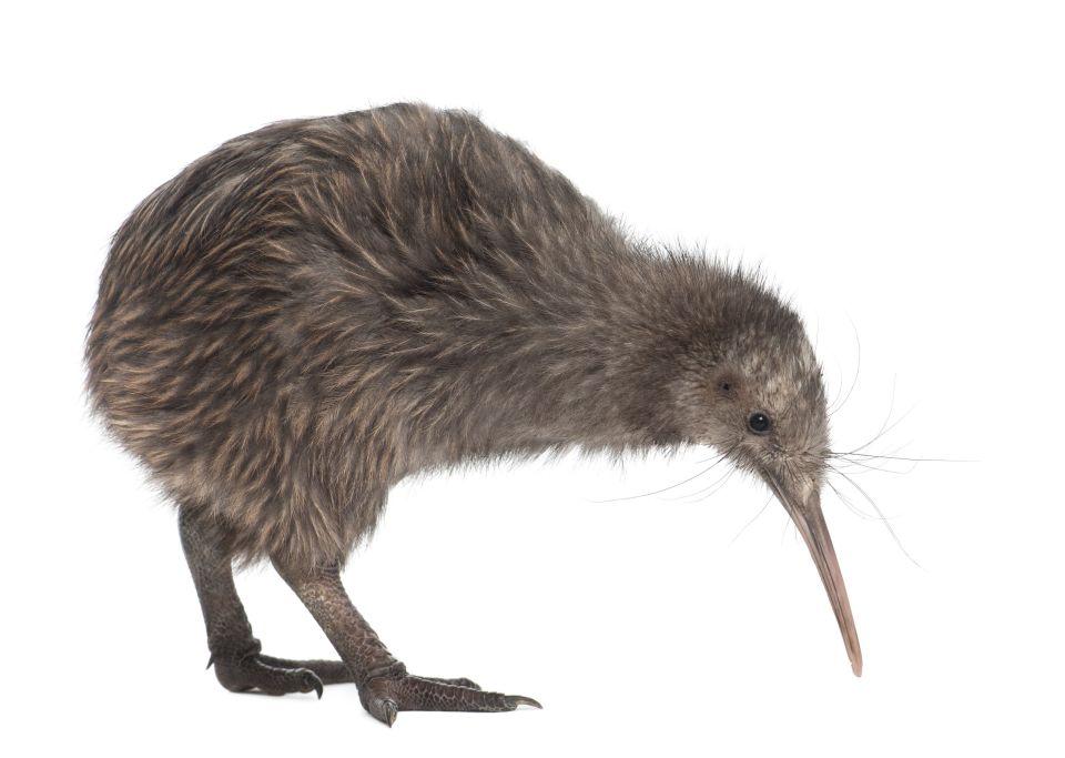 Kiwi, Neuseeland