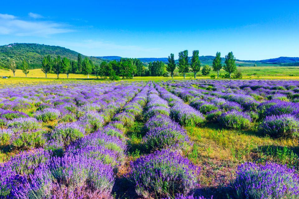 Tihany's lavender fields