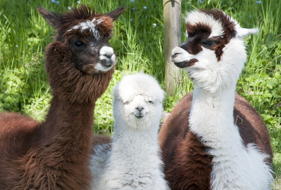 90% of the world's Alpaca population lives in Peru