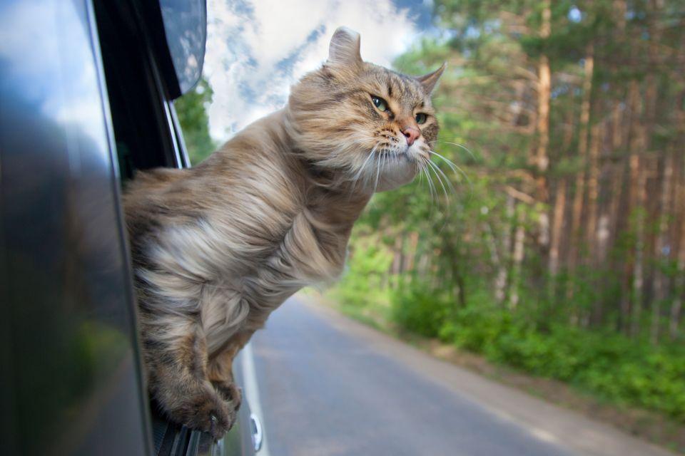 Ce chat parcourt 800 km en BlaBlaCar pour rentrer chez lui 936453