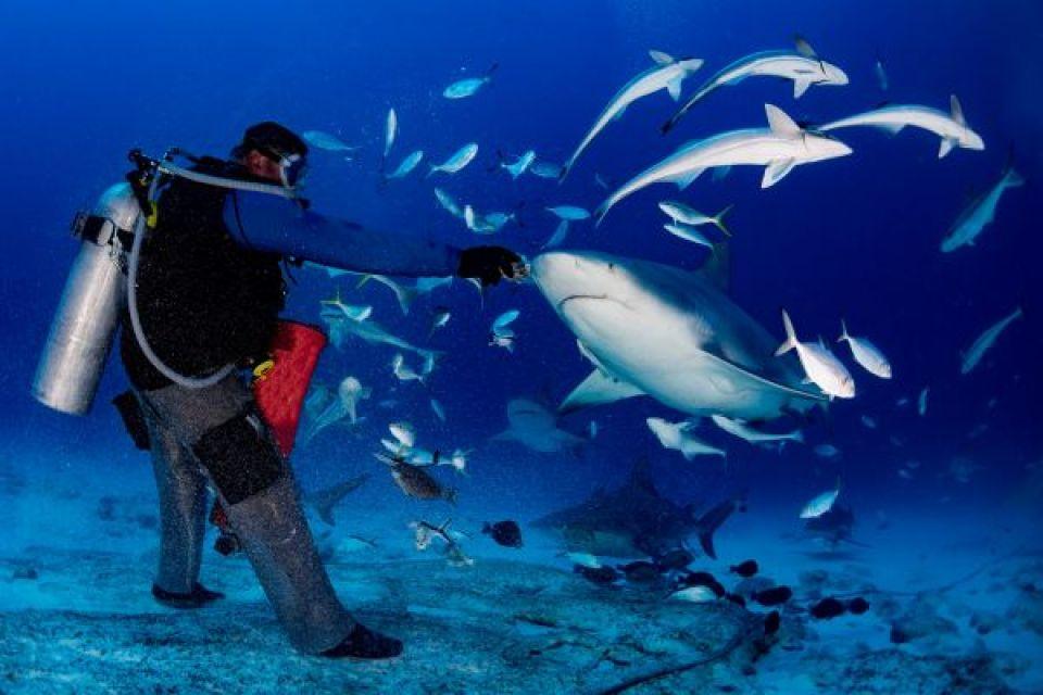 Plonger avec des requins bouledogue
