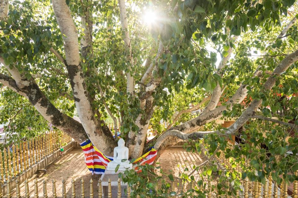 Sri Maha Bodhi, l'albero più antico della terra
