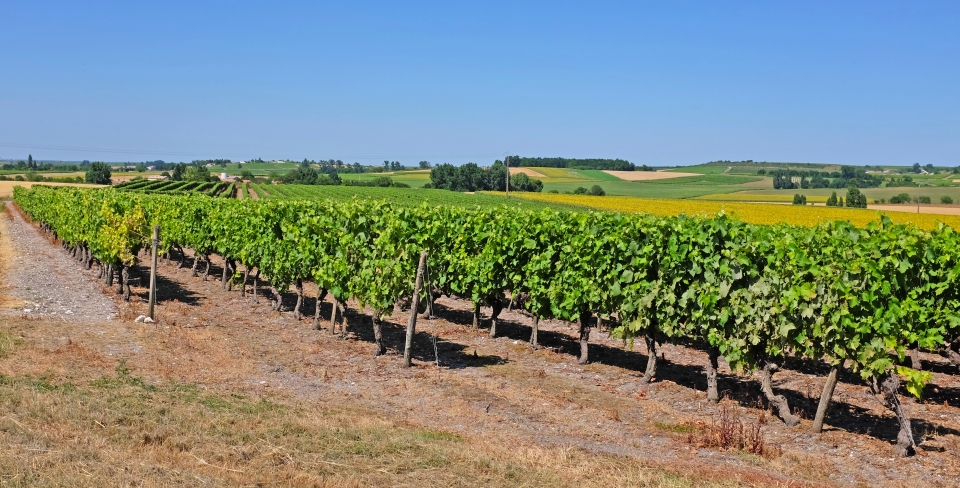 Cognac is the second largest wine region in France