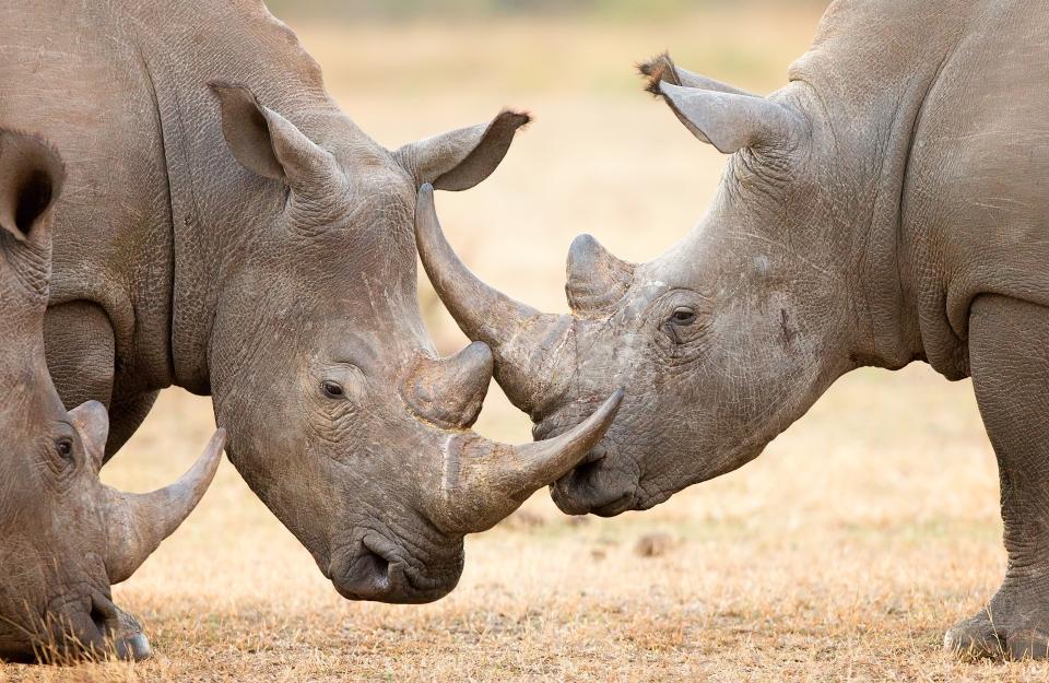 Das Weiße Rhinozeros