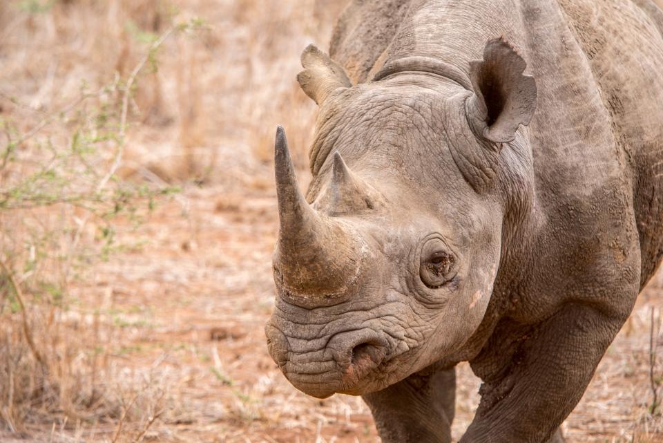 Das Schwarze Rhinozeros
