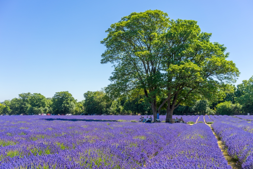 Mayfield Lavender, England