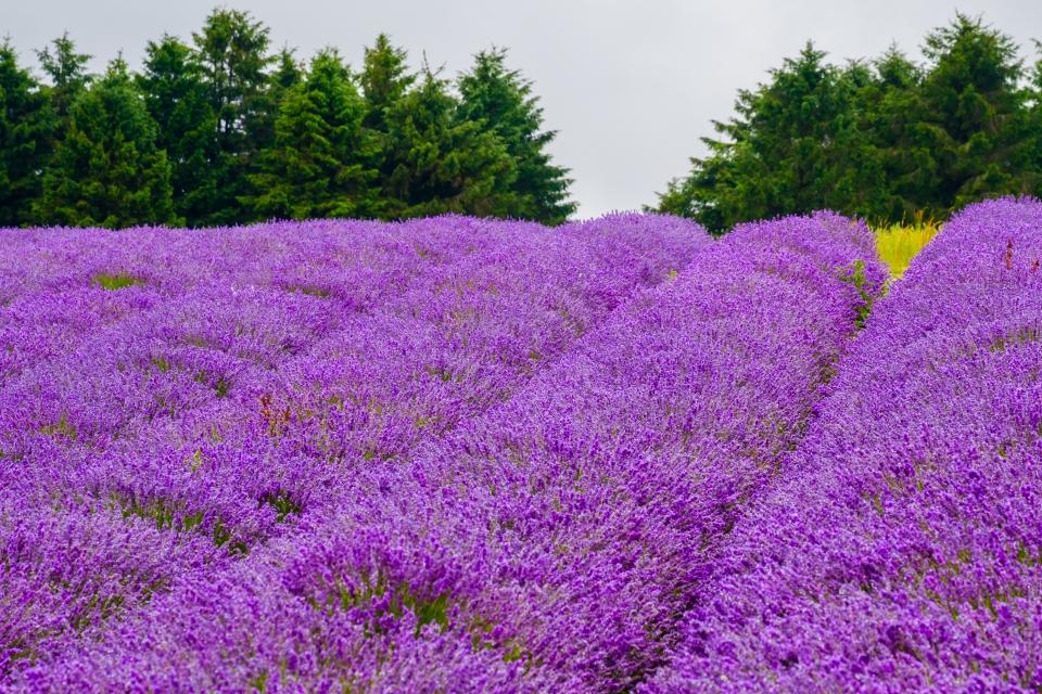 Cotswold Lavender, England