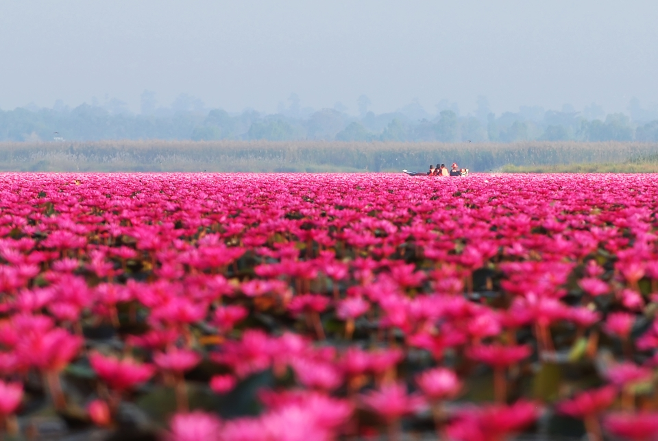 Lotus Lake, Thailand