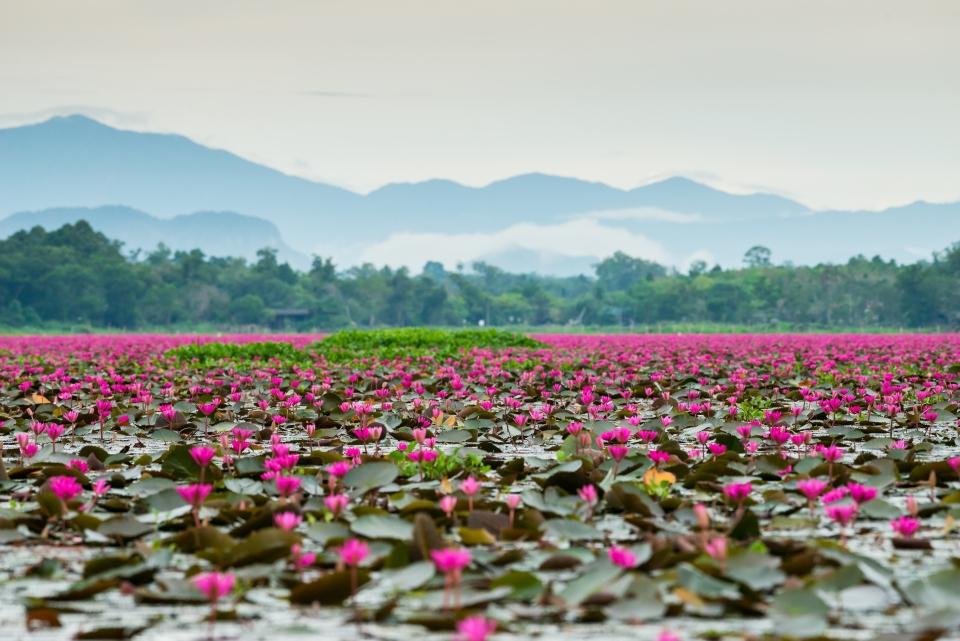 Lotus See, Thailand
