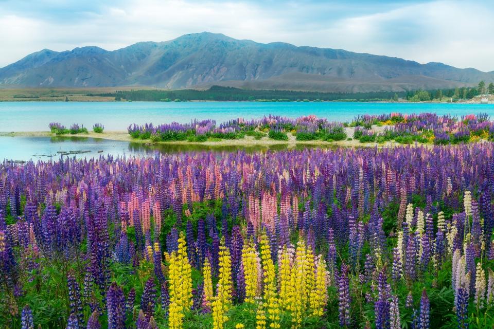 Lupinen am Lake Tekapo, Neuseeland