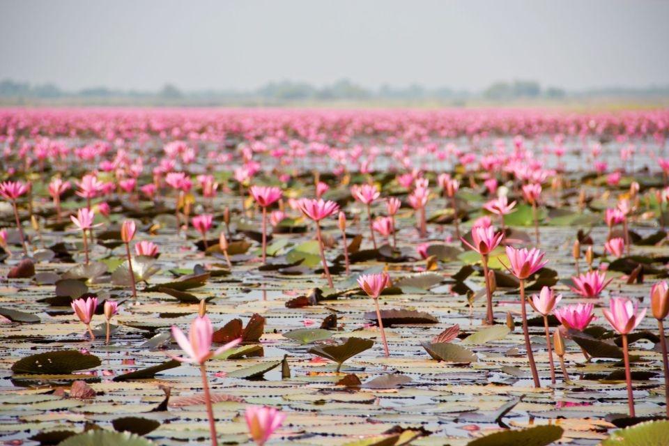 Las flores de loto en Tailandia